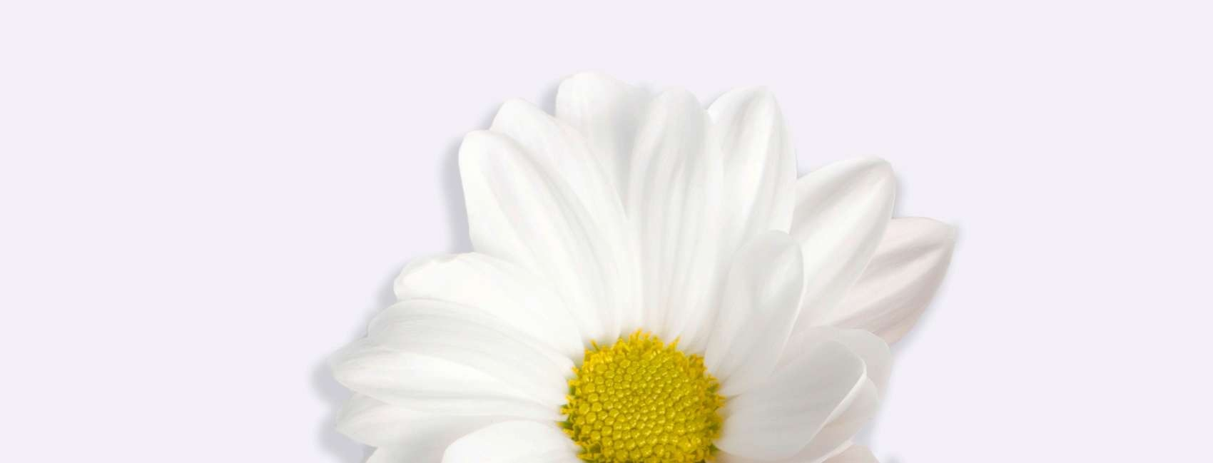 White chamomile flower on grey background