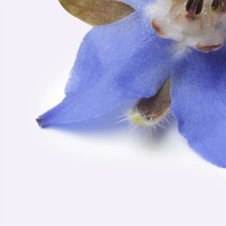 Borage seed oil blue petal
