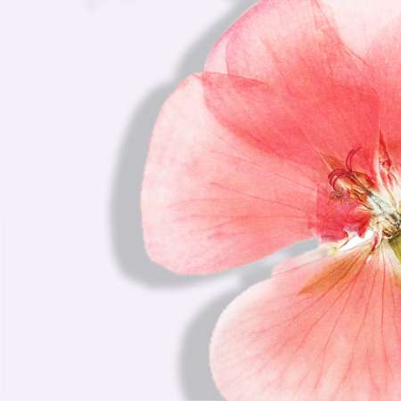 Geranium oil red flower